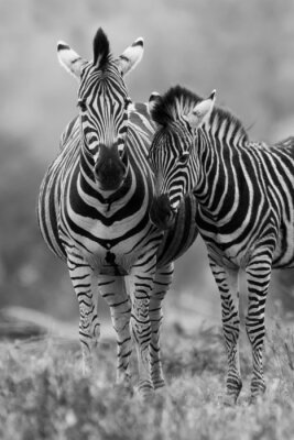 Poster Zebra mare and foal standing close together in bush for safety a