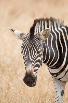 Poster Zebra portrait, Kruger park, South Africa