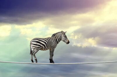 Poster Zebra walking on a rope