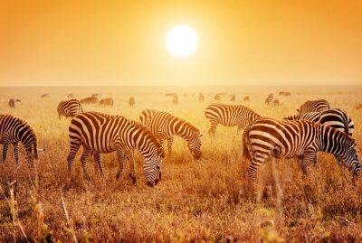 Poster Zebras herd on African savanna at sunset.