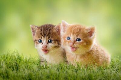 Poster zwei Katzenbabys