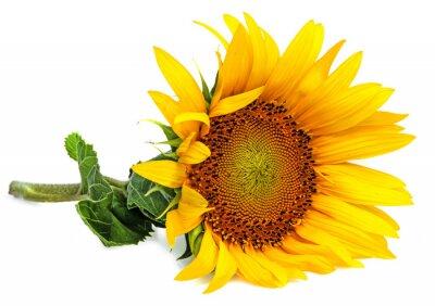 Sticker a sunflower on a white background