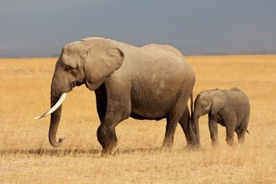 Sticker African elephant with calf, Amboseli National Park