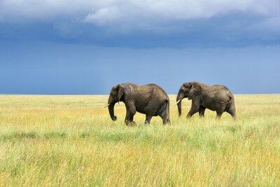 Sticker African elephants