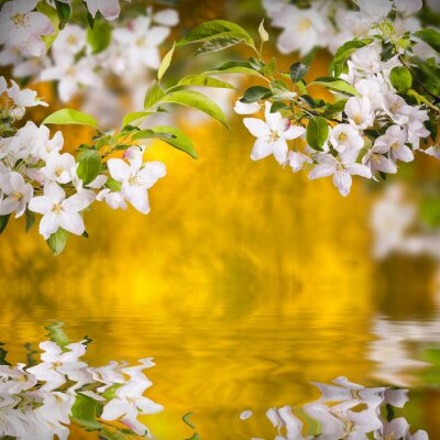 Apple blossom background_1