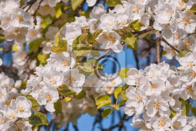 Apple blossom background. Spring time
