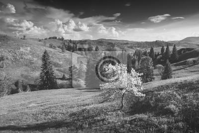 Apple tree on a Carpathian meadow. Monochrome