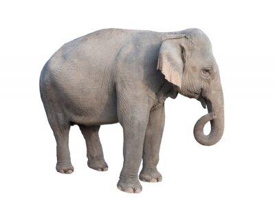 Sticker asia elephant