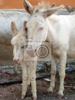Asinara-Asinelli bianchi