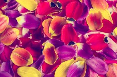 Sticker Background of  petals tulips