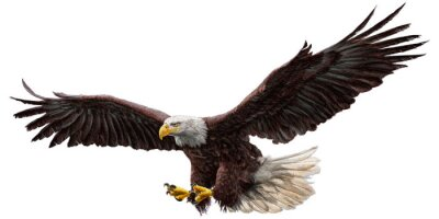 Sticker Bald eagle flying draw and paint on white background vector illustration.