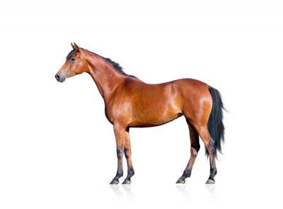 Sticker Bay horse isolated on white background