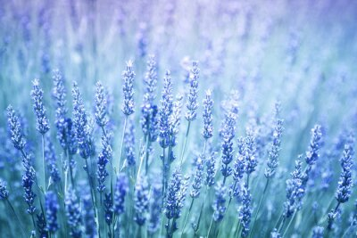 Sticker Beautiful blurred flowering lavender plants closeup background. Blue violet color filter and selective focus used.