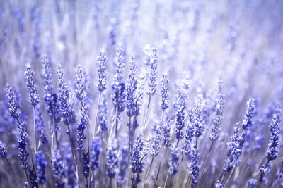 Sticker Beautiful blurred flowering lavender plants closeup background. Violet blue color filter and selective focus used.