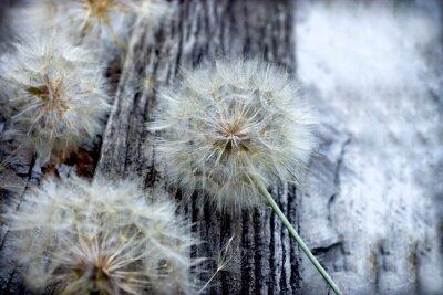 Sticker Beautiful dandelion seeds - fluffy blowball