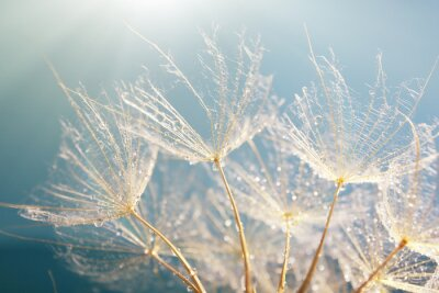 Sticker Beautiful dandelion with seeds, macro view