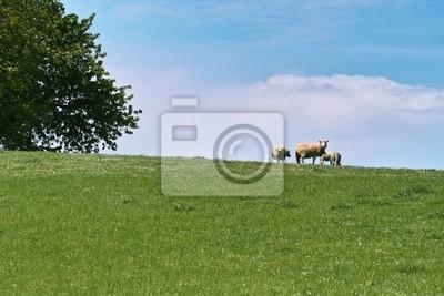 beautiful landsape sheep