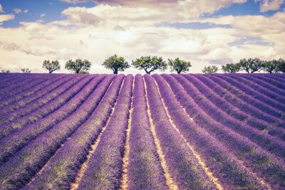 Sticker Beautiful Lavender field