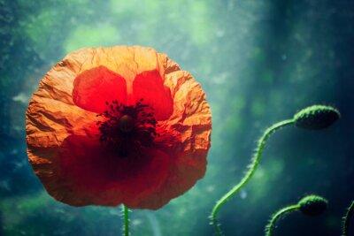 Sticker Beautiful poppy flower against brightly lit green background, backlight