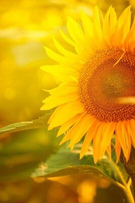 Sticker Beautiful Sunflower in Field