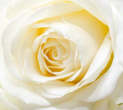 Sticker Beautiful white rose