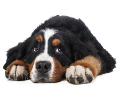 Sticker Berner Sennenhund on a white background in the studio, sad dog