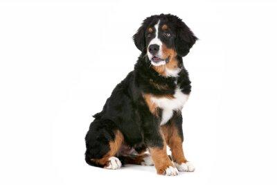 Sticker Bernese Mountain Dog puppy