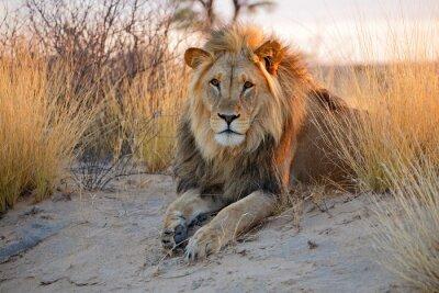 Sticker Big male African lion, Kalahari desert