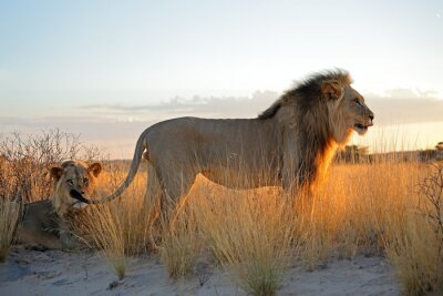 Sticker Big male African lions (Panthera leo) in early morning light, Kalahari desert, South Africa.
