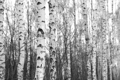 Sticker birch forest, black-white photo