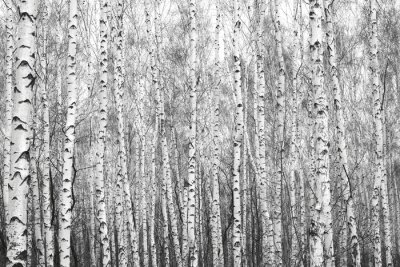 Sticker birch forest, black-white photo