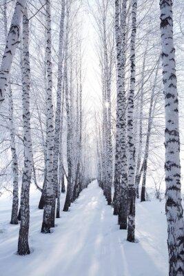 Sticker birch in winter