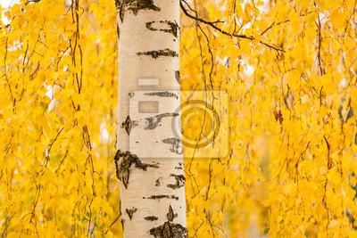 Sticker Birch trunk and vibrant yellow leaves