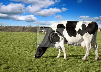 Black and White Cow Landscape