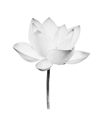 Sticker Black and white Lotus flower isolated on white background. File contains with clipping path so easy to work.