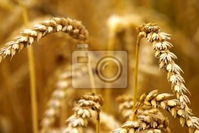 blés d'été