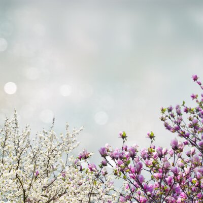 Sticker Blooming magnolia tree