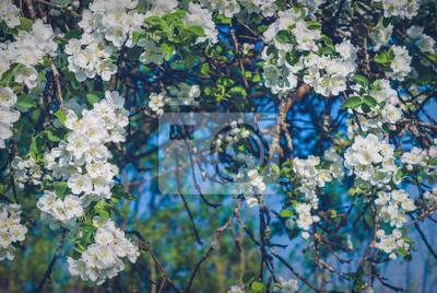 Blossom apple tree garden
