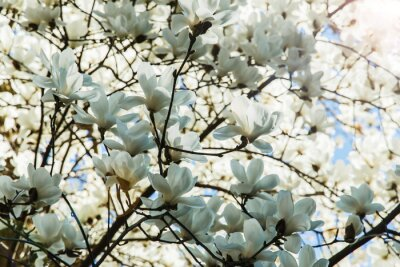 Sticker Blossoming  white of magnolia flowers in spring time