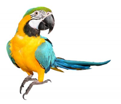 Sticker Blue and Gold Macaw