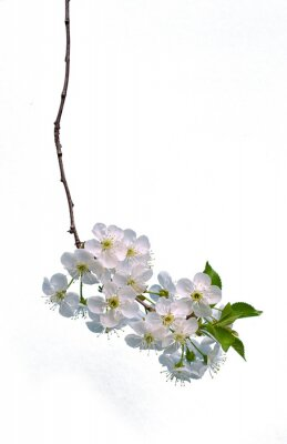 Branch of cherry with flowers