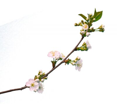 Branch of cherry with flowers isolated