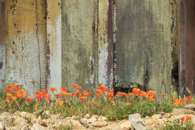 Sticker Bright orange California poppies growing alongside a weathered wooden fence.
