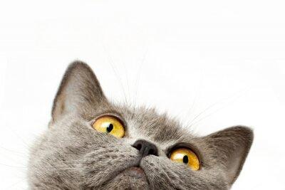 Sticker British shorthair cat
