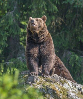 Sticker brown bear male