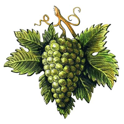 Sticker Bunch of ripe green grapes, watercolor illustration, hand drawn