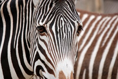 Sticker Burchell's zebra is a southern subspecies of the plains zebra. It is named after the British explorer William John Burchell. Common names include bontequagga, Damara zebra and Zululand zebra