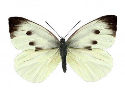 Sticker cabbage butterfly