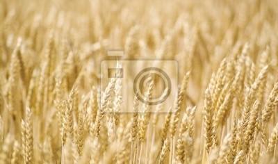 champ de blés bio