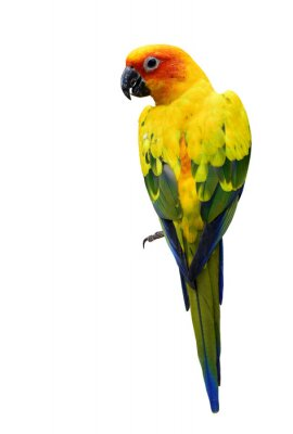 Sticker Colorful Sun Conure, the beautiful yellow parrot bird isolated o